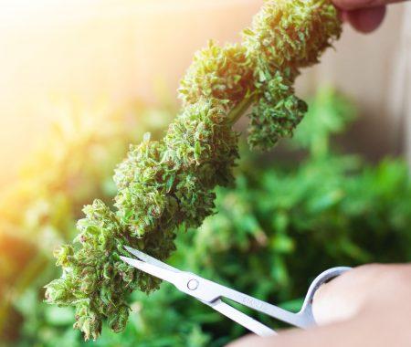 Cannabis trimmed